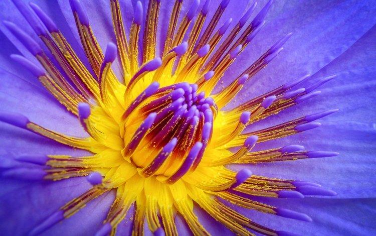 макро, цветок, лепестки, кувшинка, водная лилия, macro, flower, petals, lily, water lily
