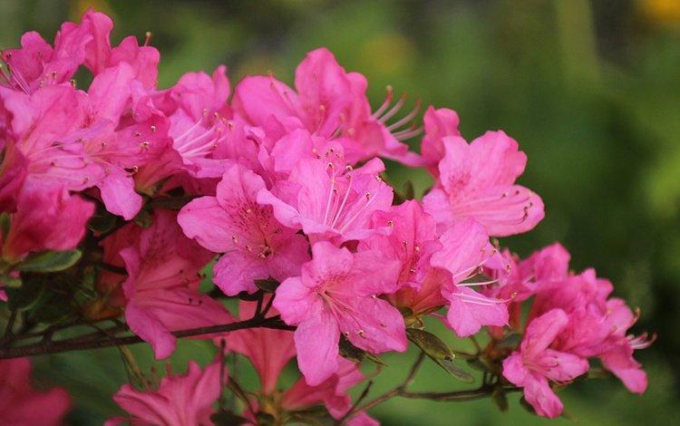 цветение, весна, розовые цветы, весенние, flowering, spring, pink flowers