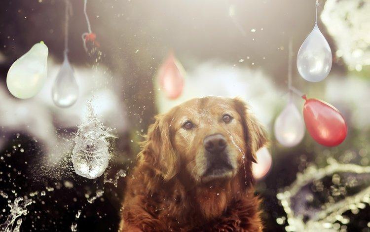 вода, собака, шарики, друг, золотистый ретривер, jessica trinh, water, dog, balls, each, golden retriever