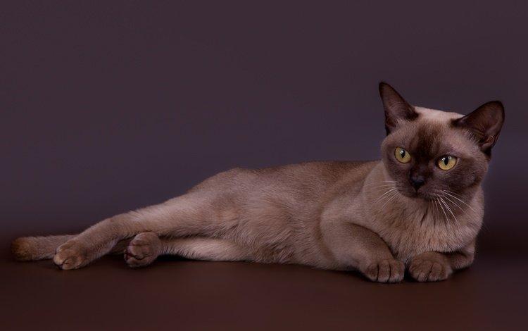 кот, кошка, красавец, бурманская, бурманский, cat, handsome, burmese