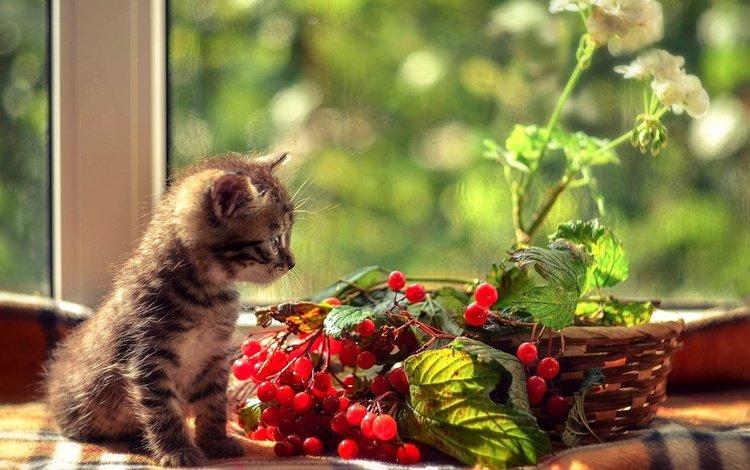 листья, окно, цветок, калина, ветки, герань, кошка, котенок, сидит, корзина, ягоды, leaves, window, flower, kalina, branches, geranium, cat, kitty, sitting, basket, berries