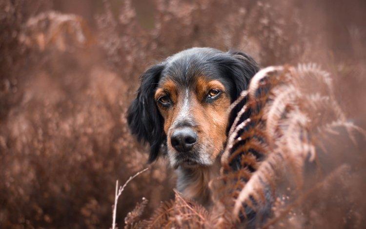природа, мордочка, взгляд, собака, уши, бернский зенненхунд, сухая трава, nature, muzzle, look, dog, ears, bernese mountain dog, dry grass