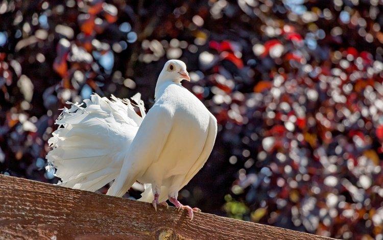 природа, птица, голубь, балка, nature, bird, dove, beam