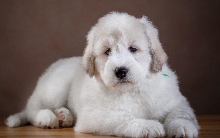 шерсть, белый, собака, щенок, wool, white, dog, puppy