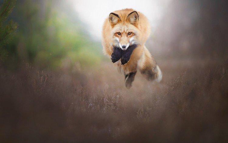 природа, прыжок, лиса, лисица, животное, nature, jump, fox, animal