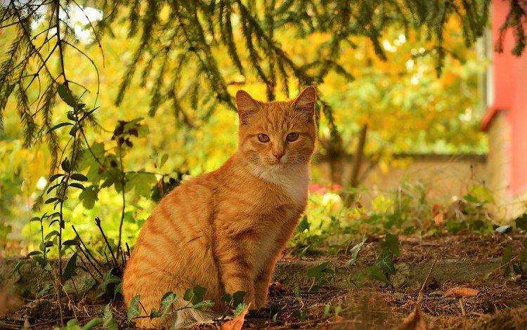 кот, кошка, осень, рыжий, осен, cat, autumn, red