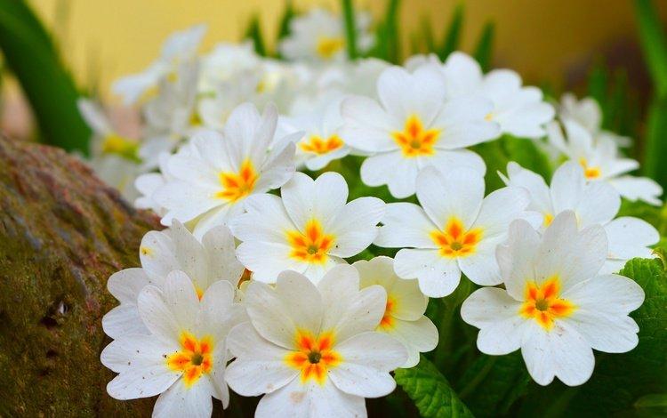 цветы, цветение, весна, белые, примула, весенние, flowers, flowering, spring, white, primula