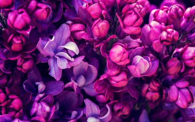цветение, весна, сирень, сиреневая, цветы, blossom, весенние, лиловая, flowering, spring, lilac, flowers, purple
