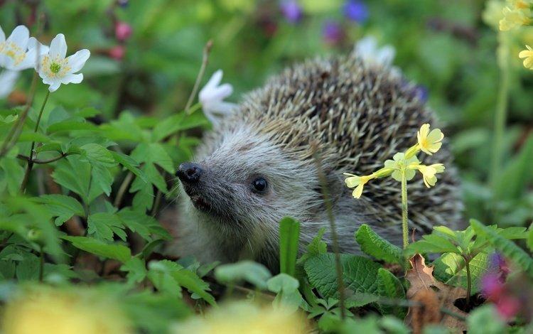 цветы, трава, колючки, ежик, еж, носик, flowers, grass, barb, hedgehog, spout