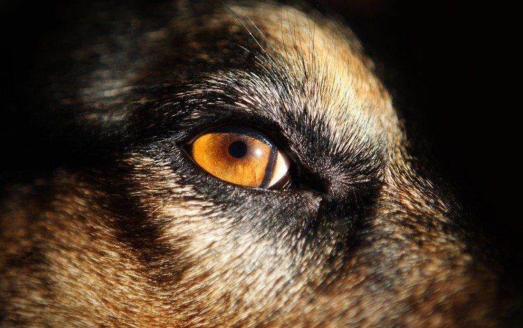 глаза, морда, животные, собака, eyes, face, animals, dog