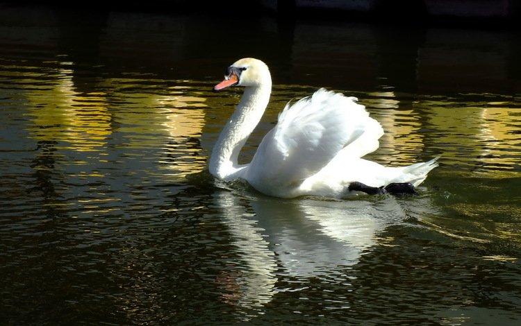 вода, отражение, птица, лебедь, water, reflection, bird, swan