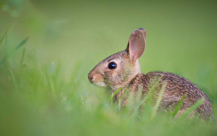трава, милый, животные, ray hennessy, поле, пушистый, кролик, мех, заяц, боке, grass, cute, animals, field, fluffy, rabbit, fur, hare, bokeh