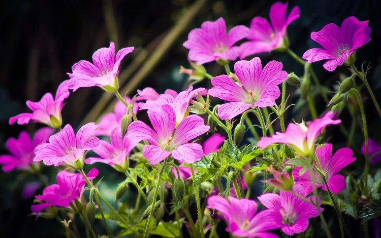 цветы, весна, розовые, flowers, spring, pink