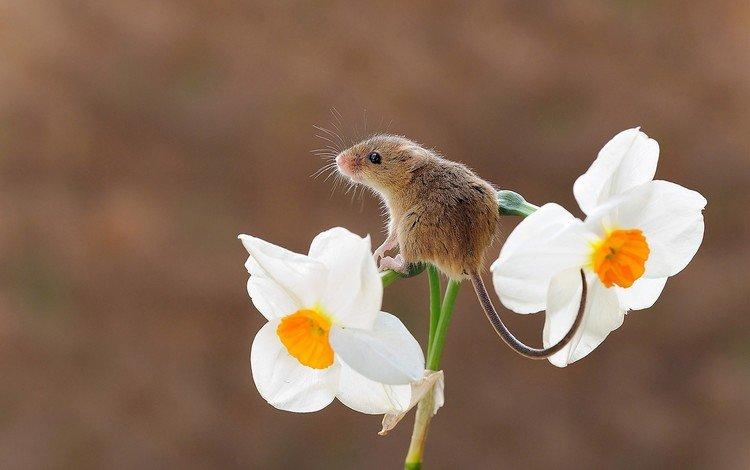 фон, цветок, мышь, нарцисс, мышка, грызун, harvest mouse, мышь-малютка, background, flower, mouse, narcissus, rodent, the mouse is tiny
