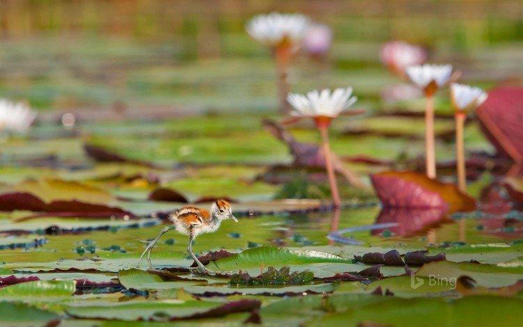 листья, водоем, птица, кувшинки, африканская якана, leaves, pond, bird, water lilies, african jacana