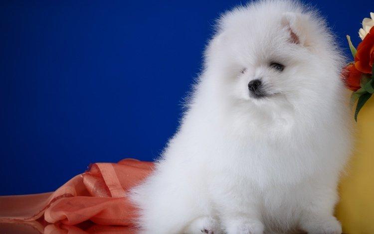 пушистый, белый, собака, шпиц, fluffy, white, dog, spitz