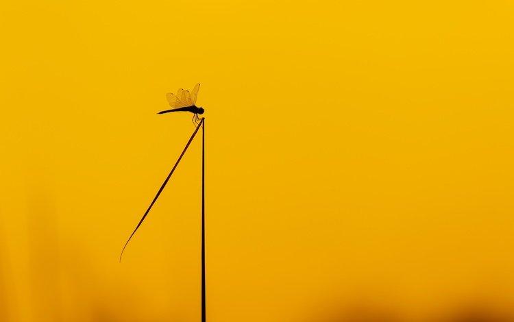 насекомое, фон, цвет, стрекоза, стебель, insect, background, color, dragonfly, stem