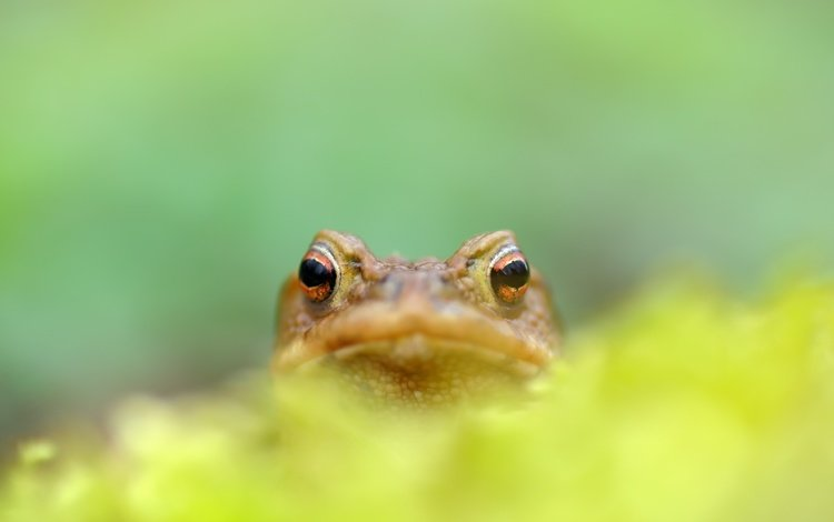 природа, фон, лягушка, nature, background, frog
