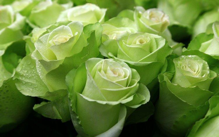 цветы, бутоны, капли, розы, flowers, buds, drops, roses
