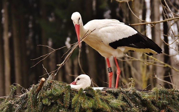 деревья, природа, хвоя, птицы, гнездо, аисты, trees, nature, needles, birds, socket, storks