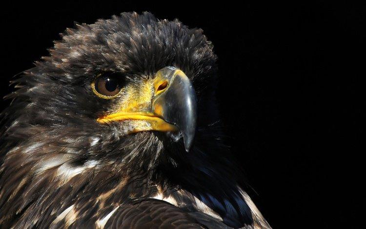фон, хищник, птица, клюв, ястреб, background, predator, bird, beak, hawk