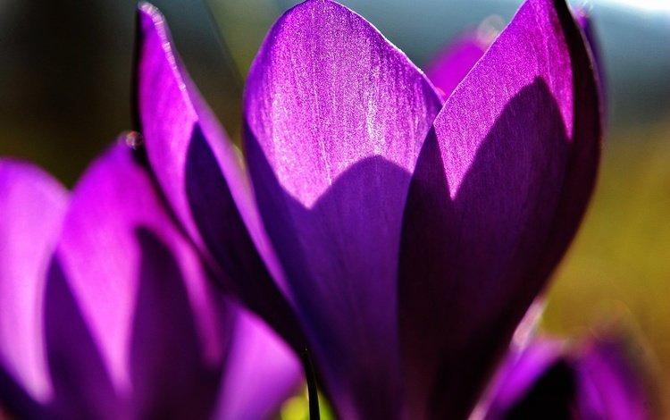 цветы, макро, лепестки, весна, крокусы, flowers, macro, petals, spring, crocuses