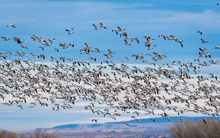 the sky, clouds, flight, birds, pack, geese