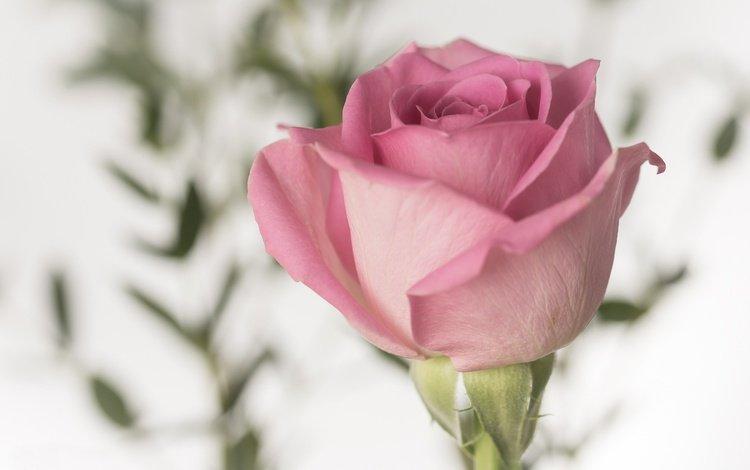 цветок, роза, лепестки, бутон, розовый, flower, rose, petals, bud, pink