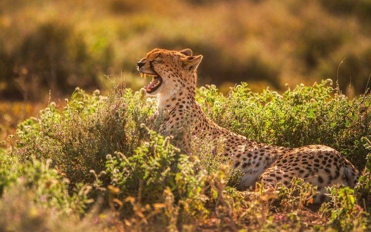 свет, хищник, зубы, пасть, гепард, зевает, light, predator, teeth, mouth, cheetah, yawns