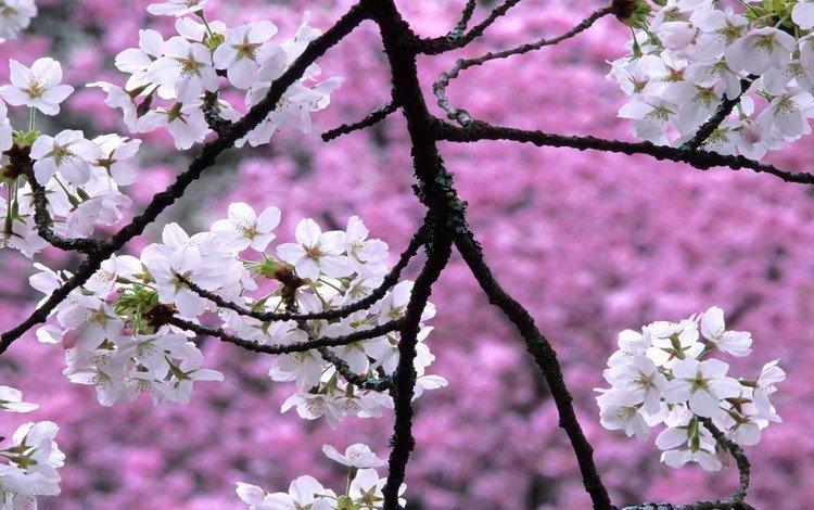 цветы, природа, цветение, фон, весна, вишня, flowers, nature, flowering, background, spring, cherry