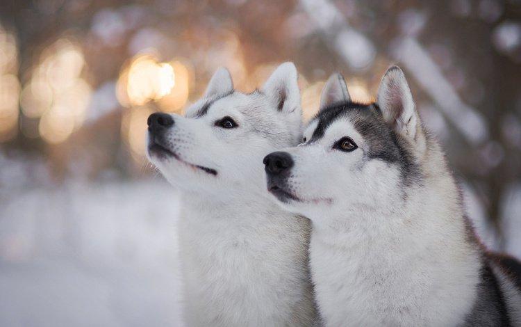 глаза, зима, взгляд, хаски, собаки, eyes, winter, look, husky, dogs