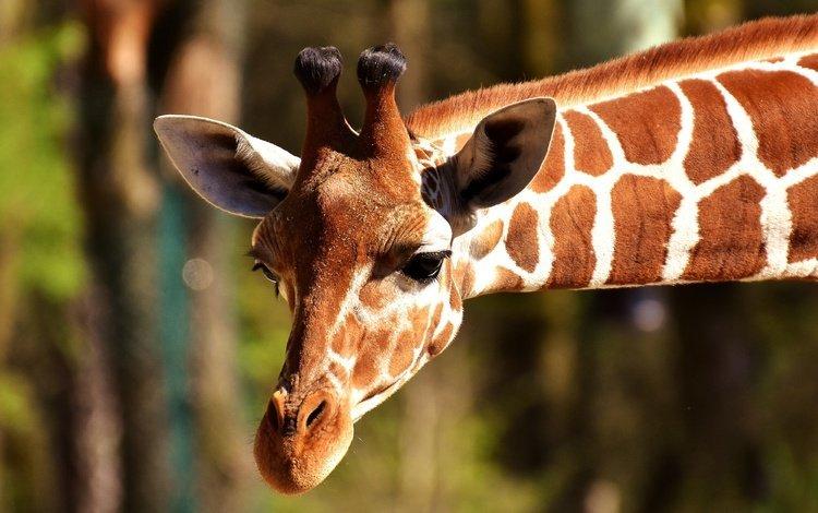 животное, жираф, голова, рожки, шея, animal, giraffe, head, horns, neck
