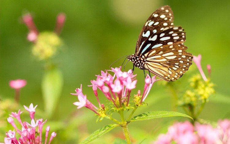 flowers, insect, butterfly, wings, pink flowers
