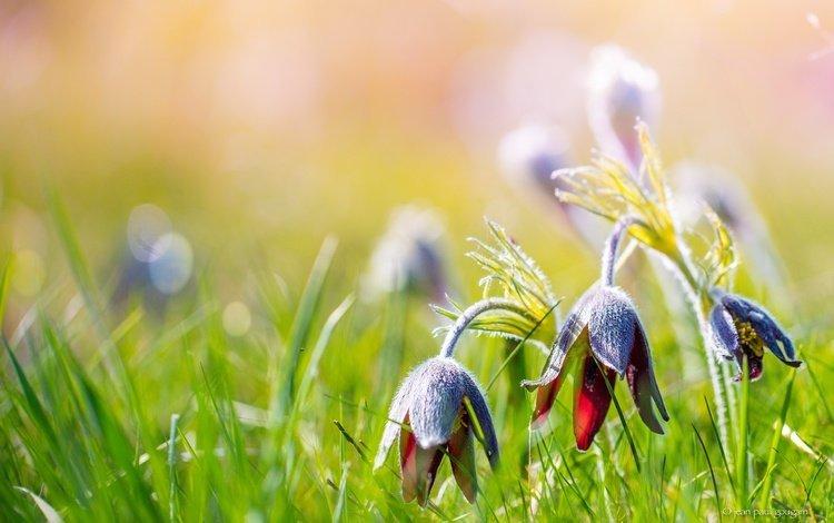 цветы, трава, природа, лето, размытость, сон-трава, прострел, flowers, grass, nature, summer, blur, sleep-grass, cross