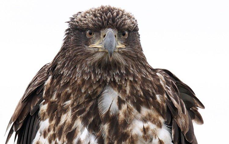 фон, орел, птица, клюв, перья, белоголовый орлан, background, eagle, bird, beak, feathers, bald eagle