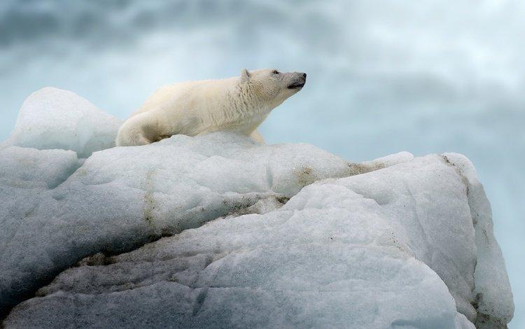 полярный медведь, медведь, айсберг, белый медведь, льдина, polar bear, bear, iceberg, floe