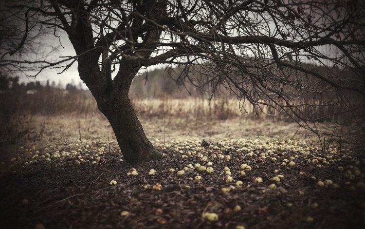 природа, дерево, яблоки, яблоня, nature, tree, apples, apple