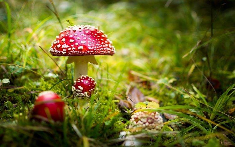 трава, природа, фон, грибы, мухоморы, grass, nature, background, mushrooms, amanita