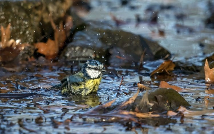 nature, leaves, autumn, bird, puddle, tit