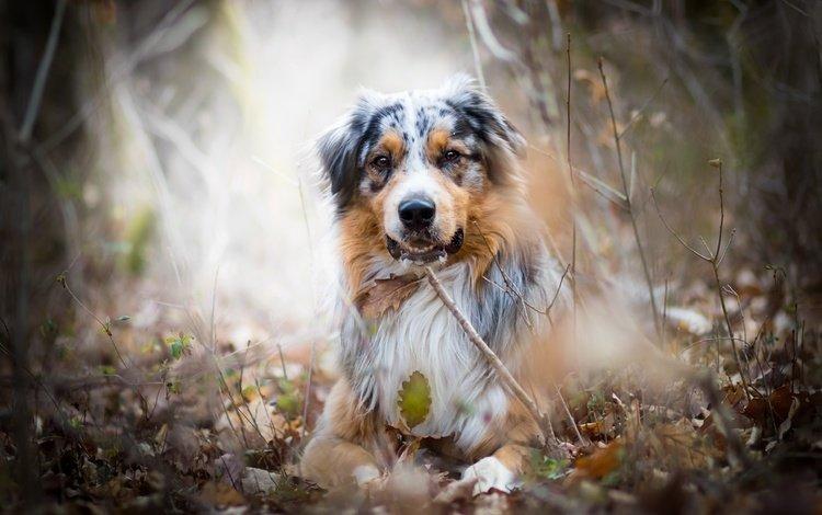природа, взгляд, собака, австралийская овчарка, аусси, nature, look, dog, australian shepherd, aussie