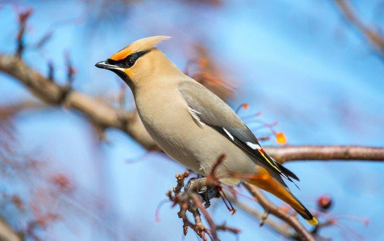 ветка, птица, клюв, перья, свиристель, branch, bird, beak, feathers, the waxwing