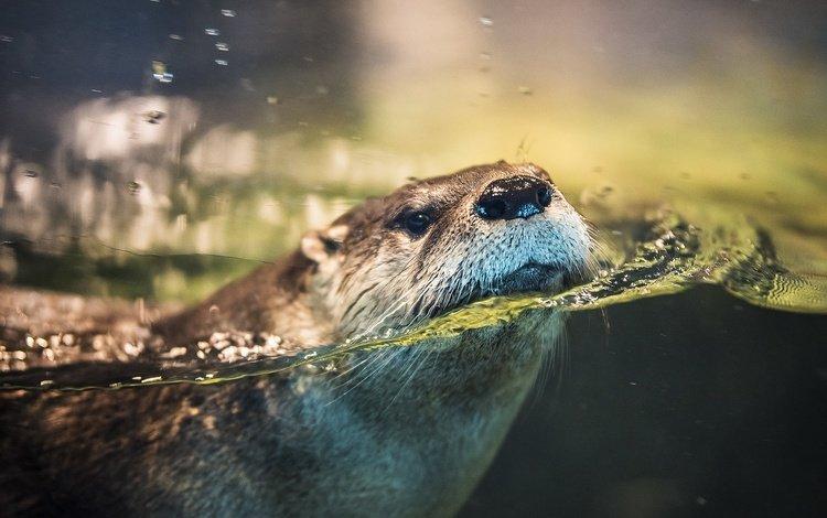 вода, мордочка, животное, выдра, water, muzzle, animal, otter