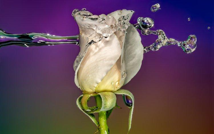 вода, sophiaspurgin, фон, цветок, капли, роза, бутон, всплеск, белая, water, background, flower, drops, rose, bud, splash, white
