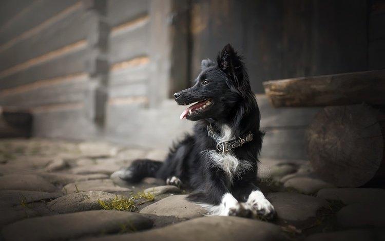 look, dog, collar, language, the border collie, alicja zmysłowska