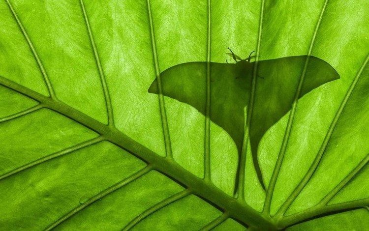 насекомое, бабочка, лист, силуэт, павлиноглазка, insect, butterfly, sheet, silhouette, emperor moth