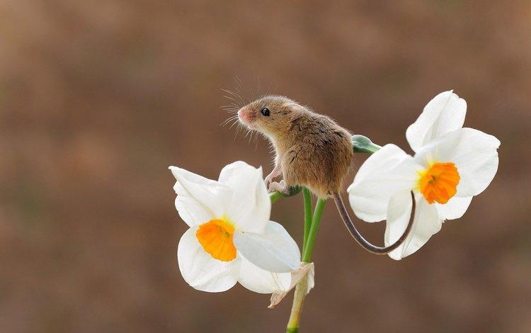 цветок, мышь, животное, хвост, нарцисс, грызун, flower, mouse, animal, tail, narcissus, rodent