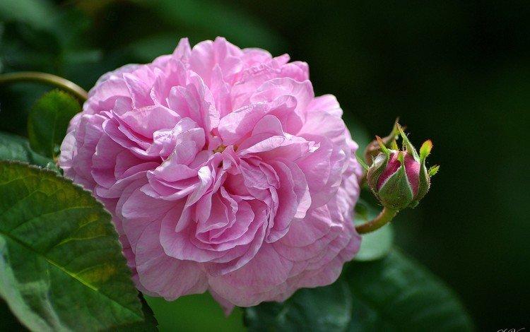 цветы, листья, роза, бутон, розовый, flowers, leaves, rose, bud, pink