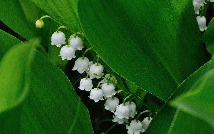 цветы, весна, ландыш, flowers, spring, lily of the valley