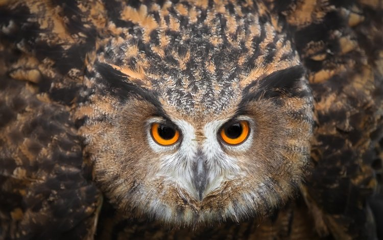 глаза, сова, смотрит, птица, клюв, перья, eyes, owl, looks, bird, beak, feathers