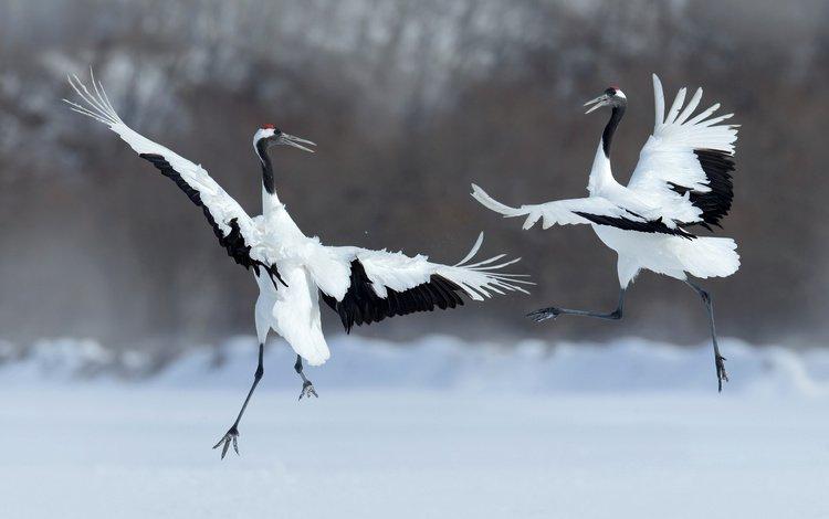 крылья, птицы, танец, перья, журавль, японский журавль, wings, birds, dance, feathers, crane, japanese crane